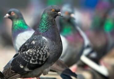 Liberarsi della presenza di piccioni e altri uccelli nell'azienda
